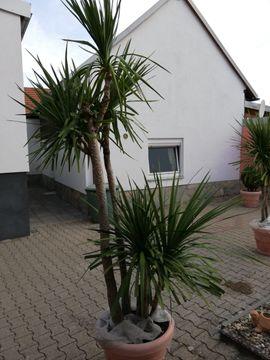 Pflanzen - Palme