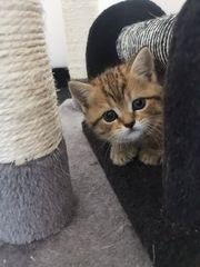 Bkh kitten mix zu verkaufen