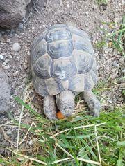 Zwei Maurische Schildkröten