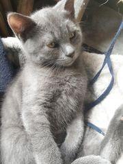 BKH- Kitten