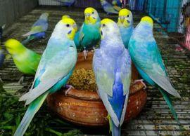 Vögel - Handzahme Wellensittiche - Rainbow Wellensittiche