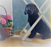 Wunderschöne Labrador Welpen black Ahnentafel