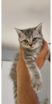 BKH Kitten bald auszugsbereit