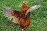 Wunderschöner rost-rot-goldener Araucaner-Zwerg-Hahn