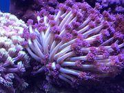 Meerwasser Koralle Alveopora weiß Lila