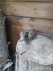 Chinesisches Baumstreifenhörnchen Chipmunk