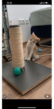 Europäisch Kurzhaar Babykatze