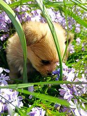 Pomeranian Zwergspitz- Yorkshire Terrier