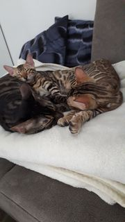 Süße Bengal Kitten