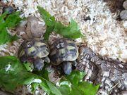 Griechische Landschildkrötenbabys suchen liebevolles neues