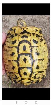keine europäische Landschildkröten im Herbst