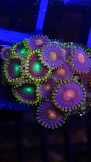 5 Korallen inkl Gratis Tierversand