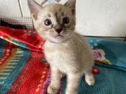 Bengal Kitten Snow nur noch