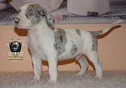 American Bully XL Welpen in