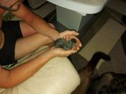 Maine Coon Babykatzen
