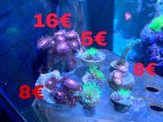 sehr schöne Korallen und Ableger