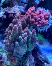 Acropora Red Planet Meerwasser SPS