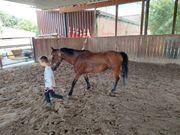 Pony brauner geritten