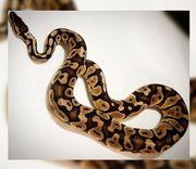 Python Regius Phantom Pastel Tausch