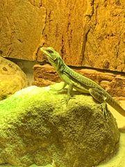 1 1 Madagaskar Leguane Zuchtpaar