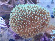 Pilzlederkorallen Meerwasser