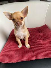 reinrassiger Chihuahuarüde sucht liebevolles Zuhause