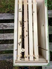 Bienenvölkerableger Carnica Buckfast Zuchtkönigin 6-8