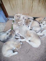 Reinrassige Siberian Huskywelpen