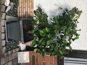 Zitronenbaum 135 cm hoch