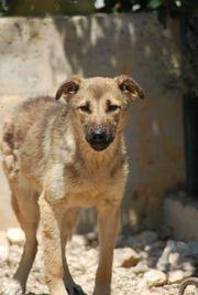 ängstliche Olga Schäferhund Mischling sucht