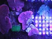 Meerwasser-Korallen-Montipora-Platte-Rot-Kleinpolypige Steinkoralle-SPS