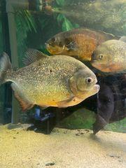 4x Rotbauch Piranhas abzugeben