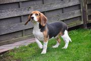 Schöne Beagle-Welpen