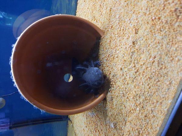Axolotl Wildlings Dame zu verkaufen