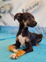 Junghund Kumiko sucht ein Zuhause