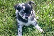 Chihuahua Welpen abzugeben