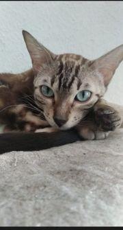 Bengalkatze mit Stammbaum