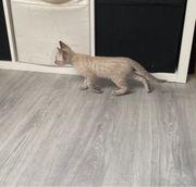 Bengalen Kätzchen dürfen ausziehen