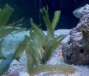 Caulerpa taxifolia Algen Meerwasser