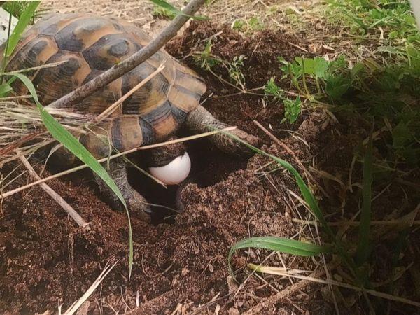 Landschildkrötenbabys bulgarischer Abstammung abzugeben Freilandhaltung