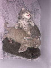 Süße BKH Kitten abzugeben