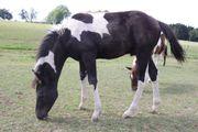 schwarz-weißes Pinto Paint x Huzulen