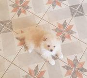 Zwergspitz Pomeranian cremeweiß Welpe