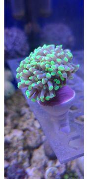 Koralle LPS Euphyllia