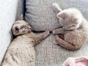 bkh kitten Auszug bereit
