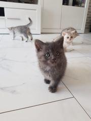 Kätzchen BKH 3x Männchen 9