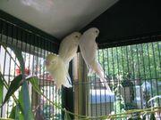 Wellensittiche Hennen Weiß