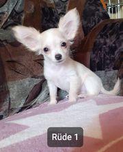 Nur noch 2 Chihuahua Rüden