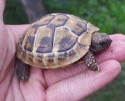 Griechische Landschildkröte Thb von 2019