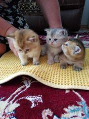4 Wunderschöne Reinrassige BKH Kitten
